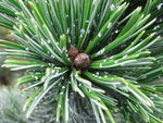 Pinus Aristata raisin flecks