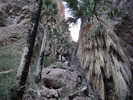 Palm Canyon - KOFA