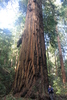Peters Grove - Portola Redwoods State Park