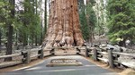 Sherman Tree Trail - Sequoia NP